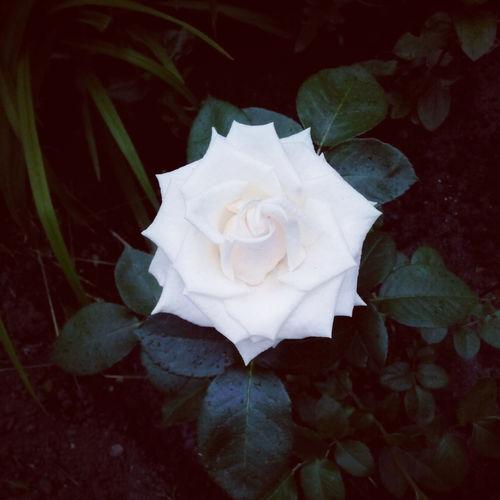 Flowers Rosé