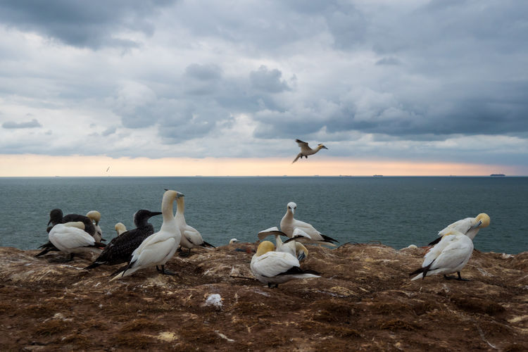 Basstölpel Basstölpel Auf Helgoland Helgoland Helgoland_collection Germany Wildlife Nature EyeEm Best Shots EyeEm Nature Lover Gannet Birds Birding Coast Island Bird Group Of Animals Animals In The Wild Animal Wildlife Animal Themes Animal Vertebrate Sky Cloud - Sky Water Sea Large Group Of Animals Horizon Beauty In Nature Horizon Over Water Seagull Flying Scenics - Nature No People Flock Of Birds