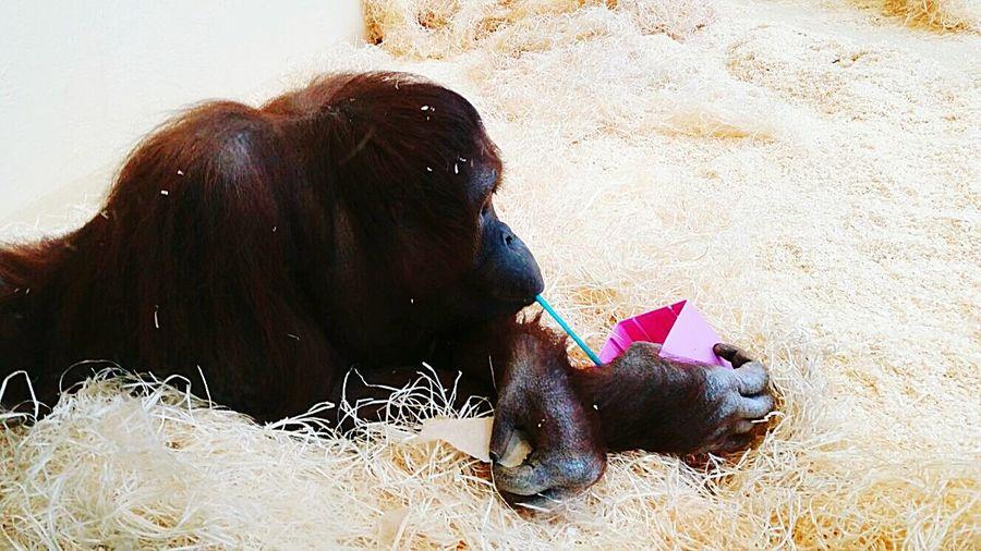 Animal Themes Zoo Animals  Relaxing Time Drinking Drink And Fun Orangotang Redhead Fresh Water