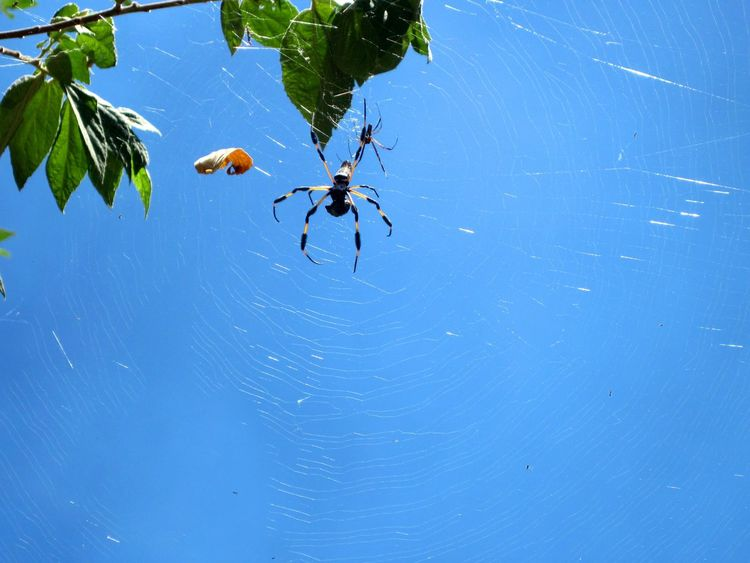 Animal Themes Animal Wildlife Animals In The Wild Beauty In Nature Big Spider Blue Close-up Day Male And Female Nature No People One Animal Outdoors Scary Spider Spider Spider Web Sunshine Tropical Web