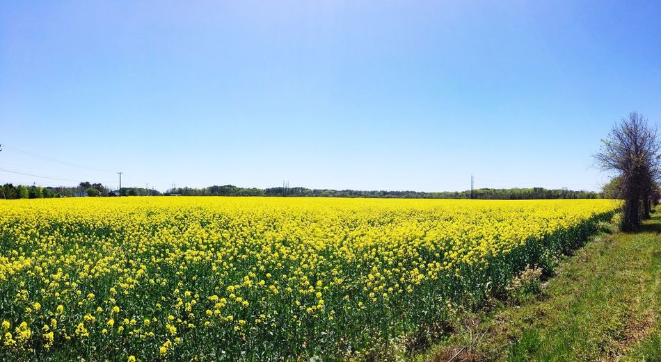 Canola Field Jarvisburg Check This Out EyeEm EyeEm Best Shots EyeEm Best Shots - Landscape