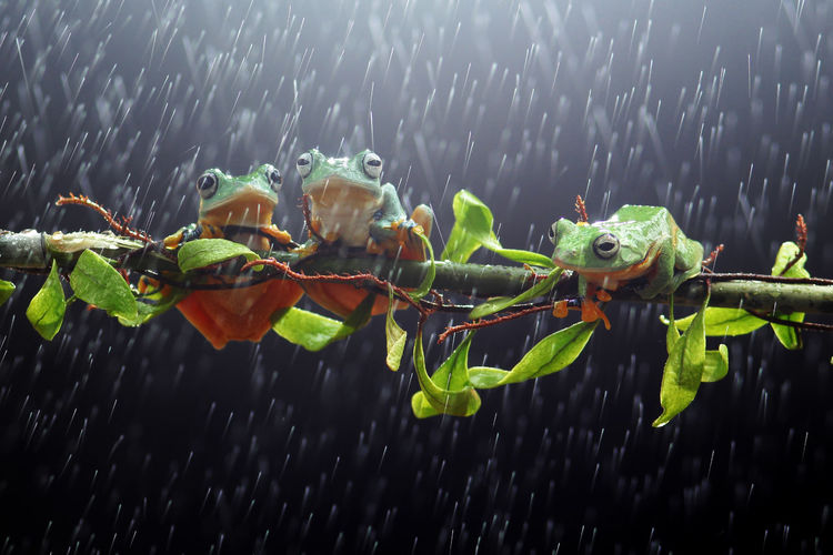 tree frogs on twigs Close-up Nature Water No People Green Color Leaf Wet Plant Part Focus On Foreground Animal Wildlife Plant Outdoors Day Animal Animals In The Wild Animal Themes Rain Drop Group Of Animals Rainy Season RainDrop Capture Tomorrow