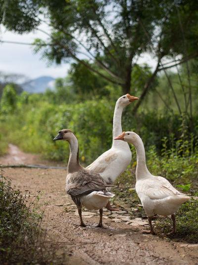 Goose Farm Organic Farm Nature Lifestock Outdoors Bird Nature