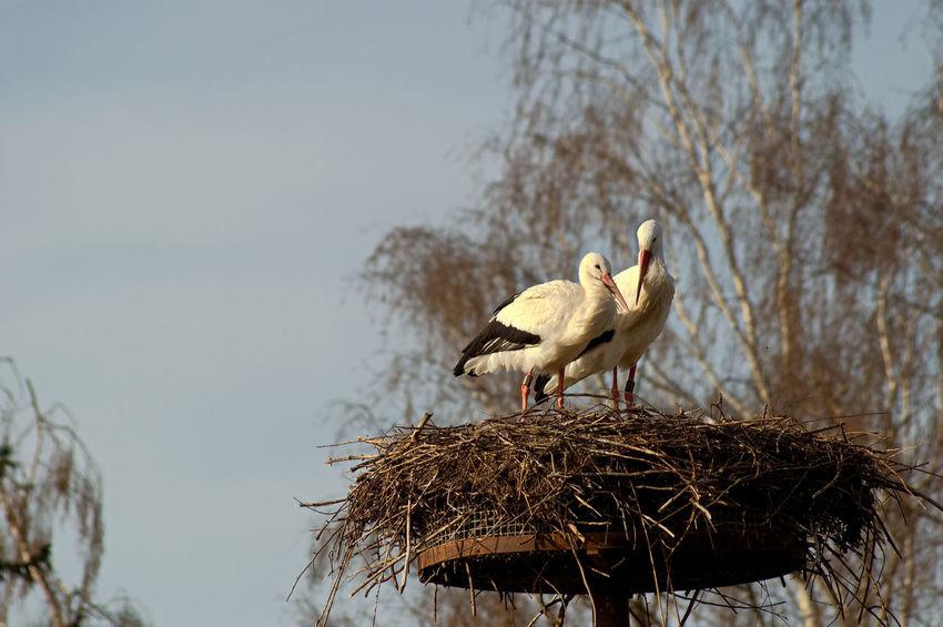 Bird Animals In The Wild Animal Wildlife No People Stork Nature Outdoors Day Störche Storchennest Storchenpaar