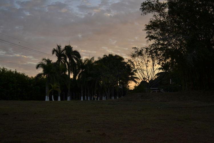 Palm Tree Trees