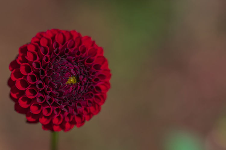 Flower Flowering Plant Petal Beauty In Nature Flower Head Plant Inflorescence Close-up Fragility Vulnerability  Red Freshness Focus On Foreground Nature Growth No People Outdoors Dahlia Day Flower Arrangement Daria