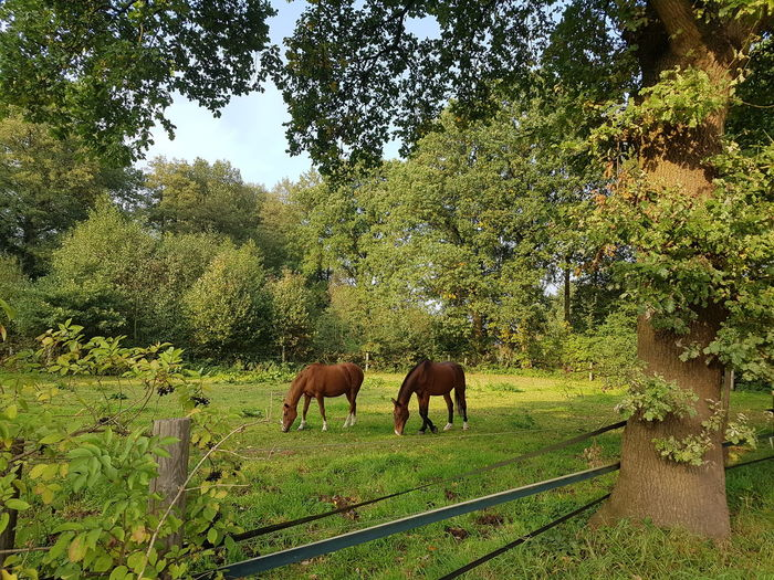 No Edit/no Filter Tree Animal Themes Domestic Animals Nature Mammal Green Color Countryside Landscape Day Outdoors Livestock Togetherness Growth Grazing Grass Beauty In Nature Horses Horses On A Meadow Horse Life Horse Love Idyllic Scenery Lush Green Lush Foliage 2 Horses Lost In The Landscape