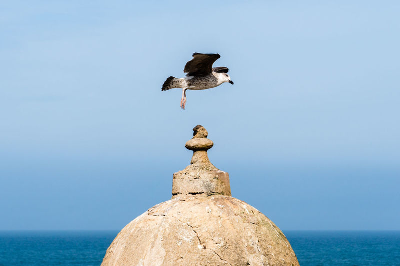 Seagull landing on the top of a watchtower, sqala du port, essaouira, morocco.