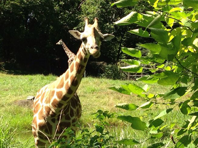 Giraffe Animal Themes Field Nature Animals In The Wild Growth Day Green Color Beauty In Nature Grass Mammal Animal Wildlife Plant Outdoors One Animal Tree No People Leaf