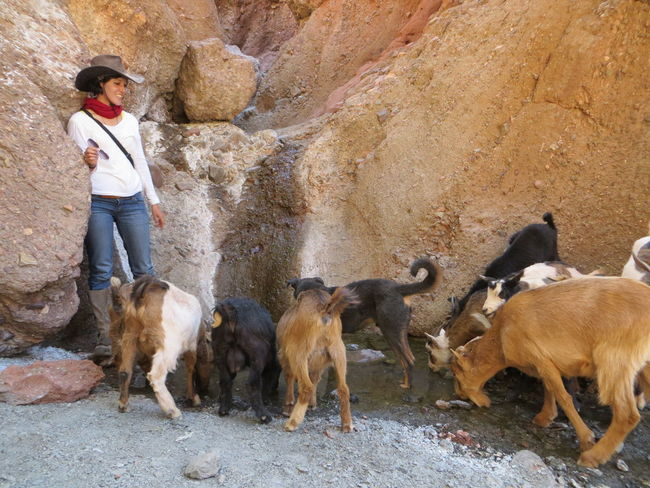 Animal Animal Themes Animals In The Wild Bolivia Cowboy Cowboy Hat Desert Desert Beauty Desert Life Deserts Around The World Domestic Animal Domestic Animals Domestic Cattle Domestic Life Drinking Girl Goat Goats Mountains Nature Rocky Mountains Thirsty  TUPIZA The KIOMI Collection
