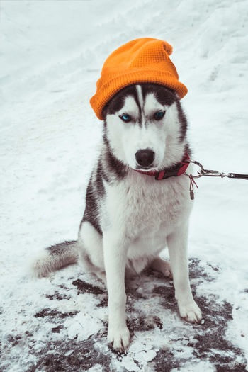 Adorable Alaskan Animal Arctic Background Beautiful Black Blue Eyes Breed Canine Cold Collar Costume Cute Dog Dog Walking Domestic Eyes Face Fashion Forest Friend Funny Fur Grey Hat Hip Hop Huskies Husky Dog Husky Dogs Husky Snow Leash Looking Forward Mammal Nature Outdoor Outdoors Pet Portrait Pretty Purebred Siberian Siberian Husky Sled Snow Stylish White Wild Winter Yellow