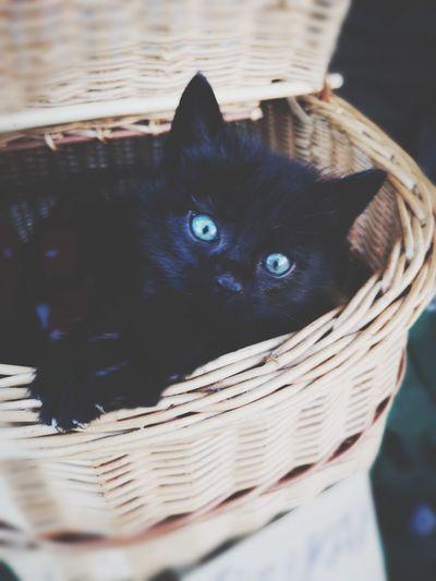 Black kitty Pets Portrait Looking At Camera Dog Domestic Cat Close-up Animal Eye Cat Animal Nose Animal Face Eye Basket Feline Animal Head  Animal Ear