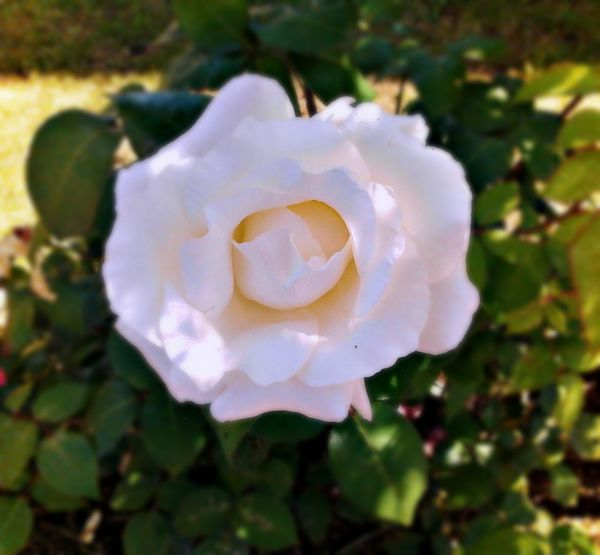 White Rose Rose_collection Naturelovers Eyem Nature Lovers