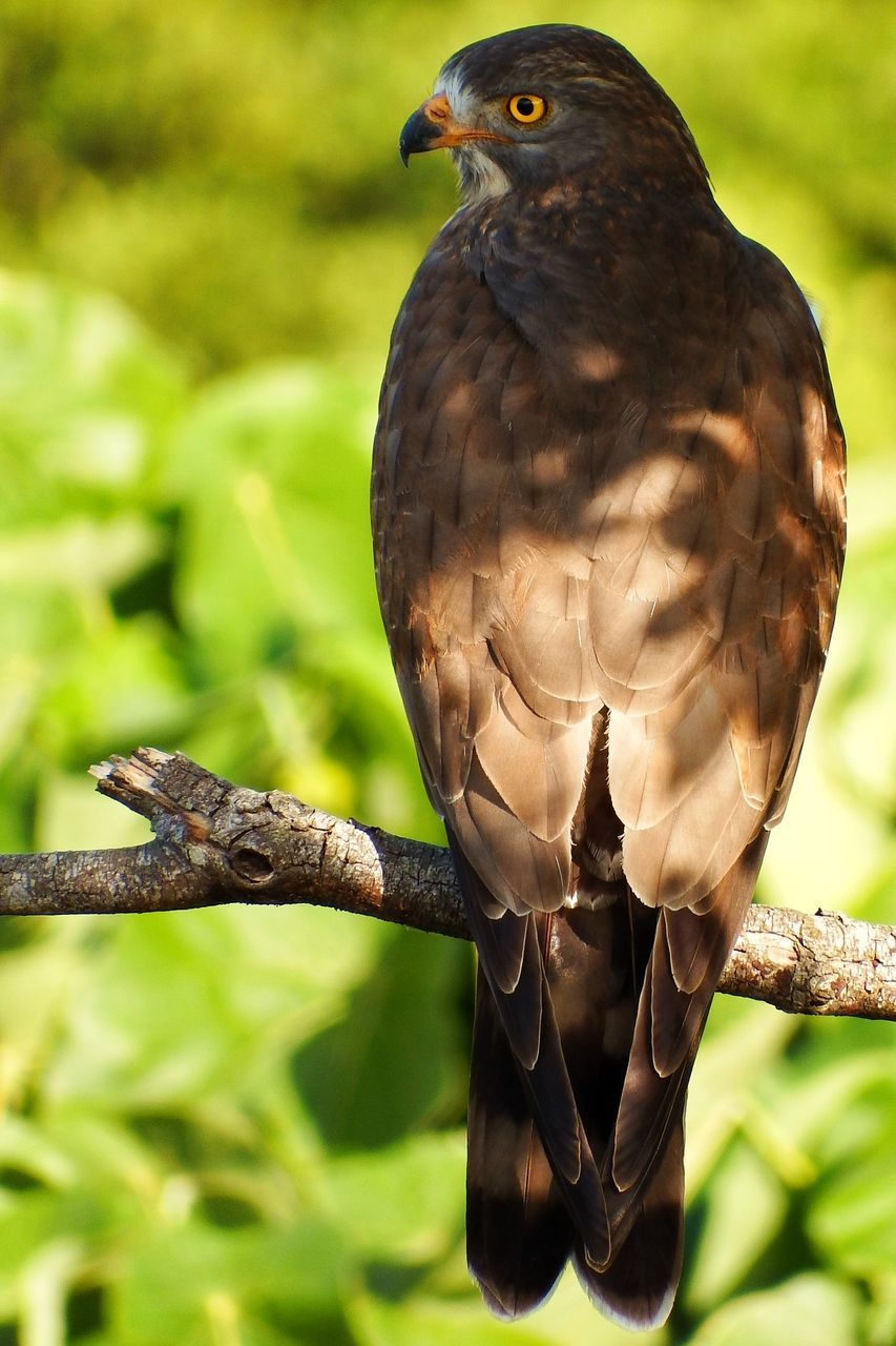 animals in the wild, vertebrate, animal wildlife, animal themes, animal, bird, one animal, focus on foreground, bird of prey, close-up, day, perching, no people, branch, tree, nature, outdoors, plant, hawk - bird, zoology, eagle
