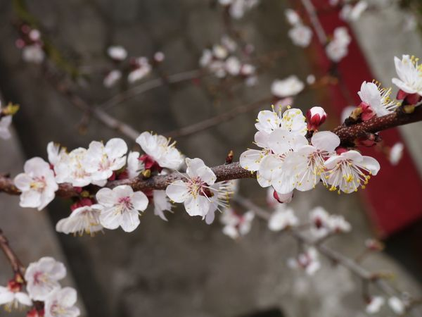 The Apricot Tree Branch Apricot Tree Apricot Tree Flower Fragility Nature Beauty In Nature Growth Blossom Freshness No People White Color Day Tree Petal Branch Flower Head Close-up Springtime Outdoors Blooming