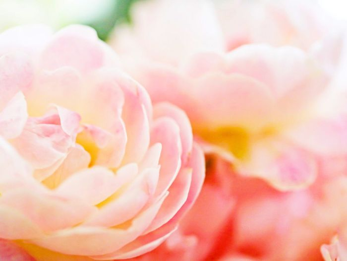 Flower Petal Fragility Beauty In Nature Pink Color Flower Head Rose - Flower Nature Close-up Freshness No People Springtime Peony  Outdoors Blooming Day