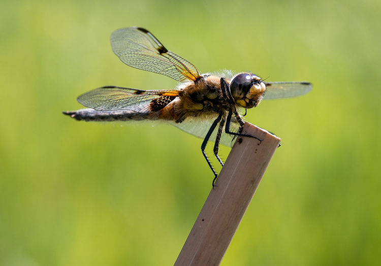 EyeEm Best Shots EyeEm Nature Lover Taking Photos Animal Animal Eye Animal Themes Animal Wildlife Animal Wing Animals In The Wild Beauty In Nature Close-up Day Dragonfly Focus On Foreground Green Color Insect Invertebrate Nature No People One Animal Outdoors Plant Twig Wood - Material