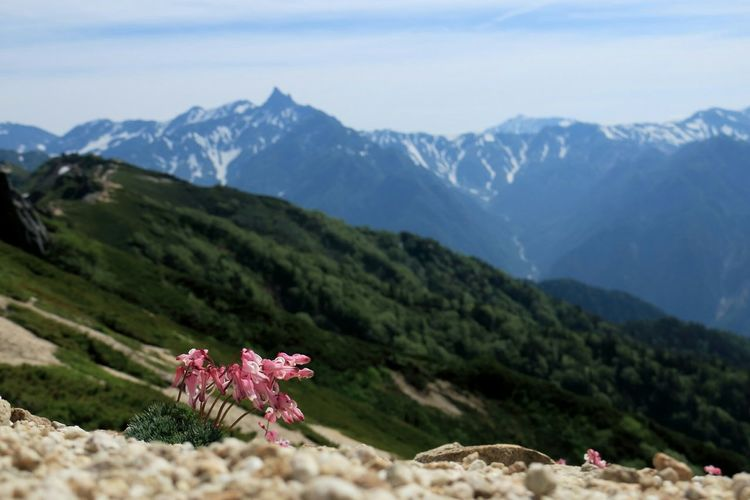 Pink Flower In Bloom With Mountains In Background