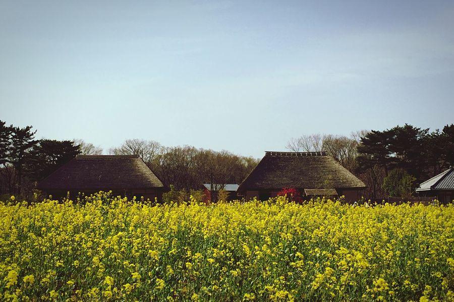 菜の花畑と古民家 Hitachi Seaside Park