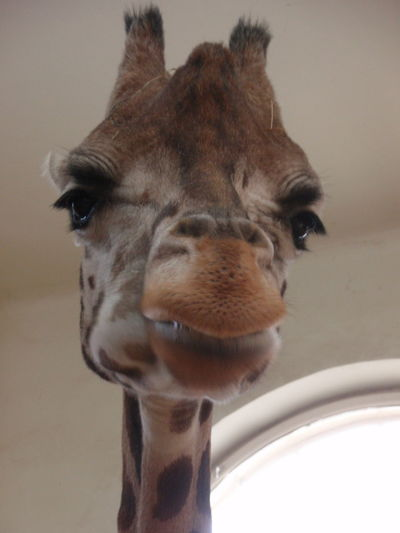 silence please .. love is in her eyes Animal Head  Beauty Close-up Eyes Are Soul Reflection Giraffe Longing For Your Kiss Love One Animal Soul Unqiue Moment No Edit/no Filter Capture The Moment Exotic Animals Animal Photography Exotic Animal Head  Pet Portraits