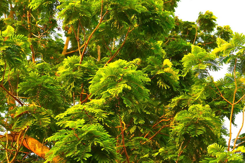 Oxygen Production Green Environment Green Tree Leaves In The Wind Oxygen Ozone Production Small Green Leaves Tree In Midday Sun Tropical Lushly Green Leaves In Bright Sunshine Windy
