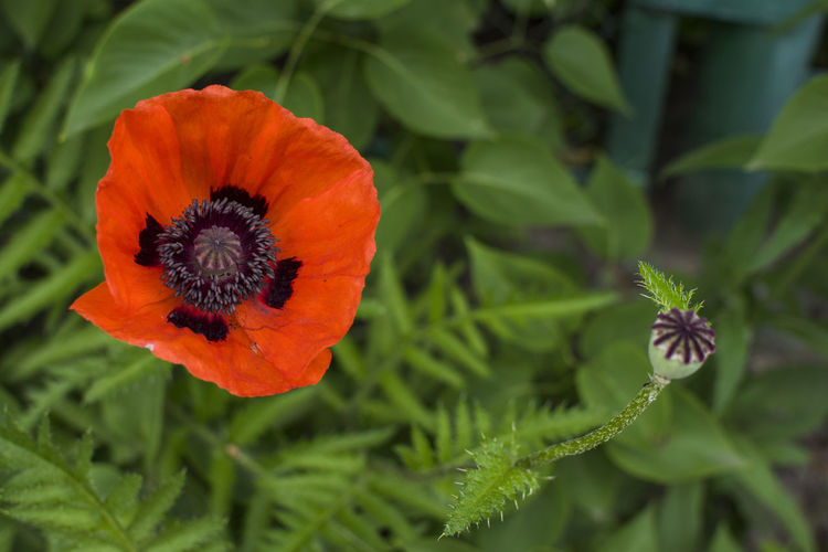Closeup of red poppy (Papaver rhoeas) on green background Background Beauty Bloom Blooming Bright Bud Countryside Field Flora Flower Garden Landscape Meadow Opium Opium Poppies Papaver Rhoeas Plant Poppies  Poppy Red Rural Springtime Blossoms Summer Tranquil Wildlife Photography