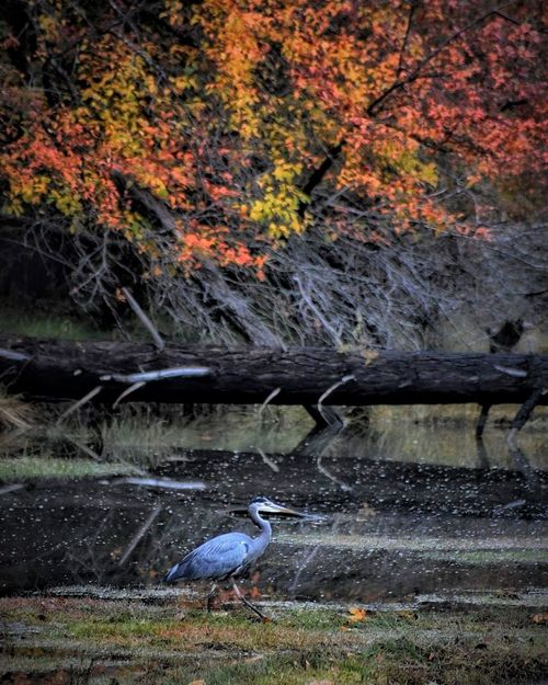 Autumn colors Blue Heron Canal Wildlife Bird Animals In The Wild Animal Themes Nature Water One Animal Autumn Outdoors Beauty In Nature Animal Wildlife Grass