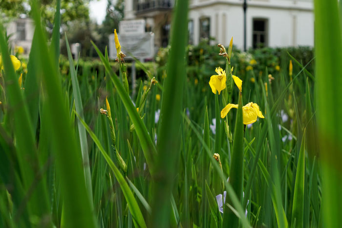 Yellow Iris Architecture Bloom Blooming Bokeh Building Close-up Flora Flower Flower Head Iris Leaves Nature Plant Pond Water Water Flag Water Plants Yellow Yellow Flag Yellow Iris