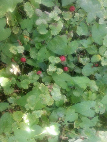 Green Color Nature Outdoors Plant Beauty In Nature EyeEmNewHere No Filter No Edit Just Photography Strowberry 🍓🍓 Wild Strawberries Wildstrawberries Garden Photography