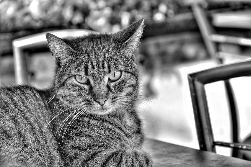 Blackandwhite Animal Themes Animal Animals Pets Portrait Feline Domestic Cat Close-up Cat Kitten Persian Cat  Ginger Cat Siamese Cat