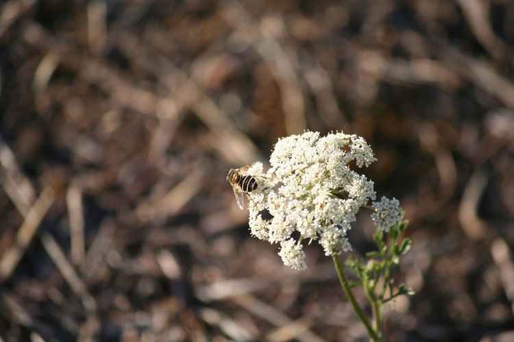 Bee on small white flowers