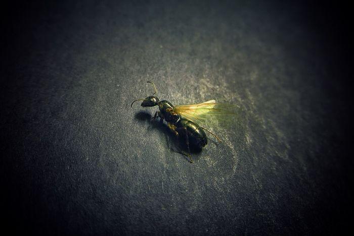 black antz Antz Insect Close-up Fly