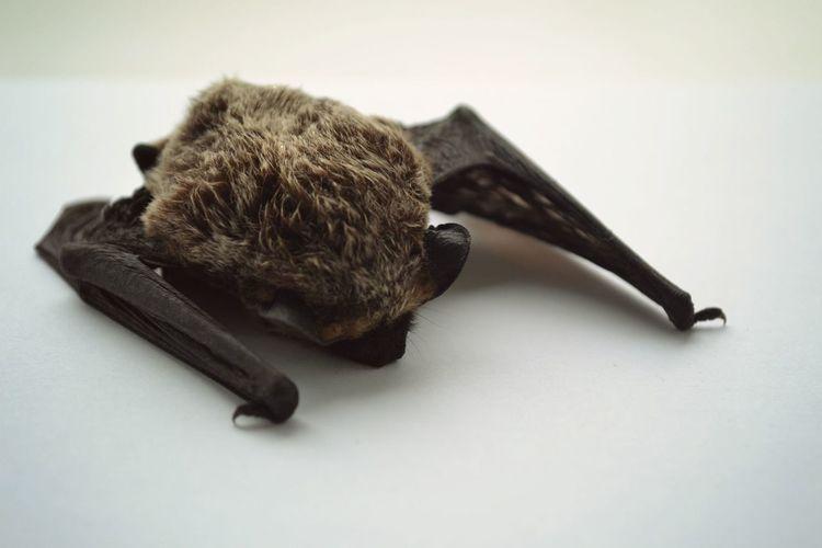 Dead Corpse Bat