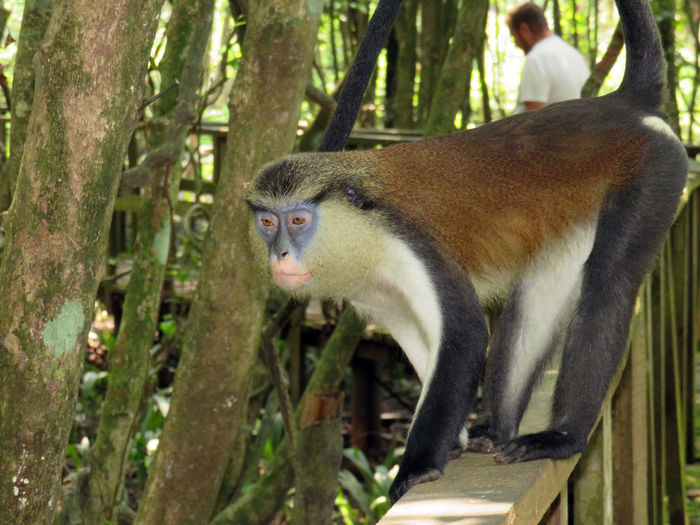 Monkey sitting on a handrail in forest