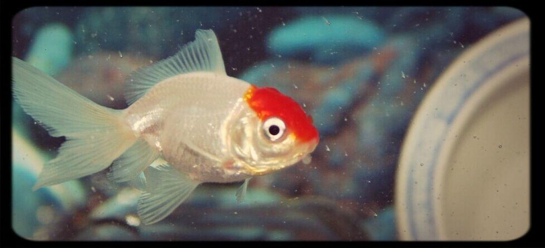 Water Nature Animals Animal Love Life Red Cute Fish Goldfish White Underwater Aquarium Adorable Fancy Goldfish Redcap Goldfish
