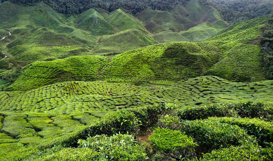 Agriculture Beauty In Nature Crop  Environment Farm Field Foliage Green Color Growth Land Landscape Lush Foliage Nature No People Outdoors Plant Plantation Rolling Landscape Rural Scene Scenics - Nature Tea Crop Tea Leaves Tranquil Scene Tranquility