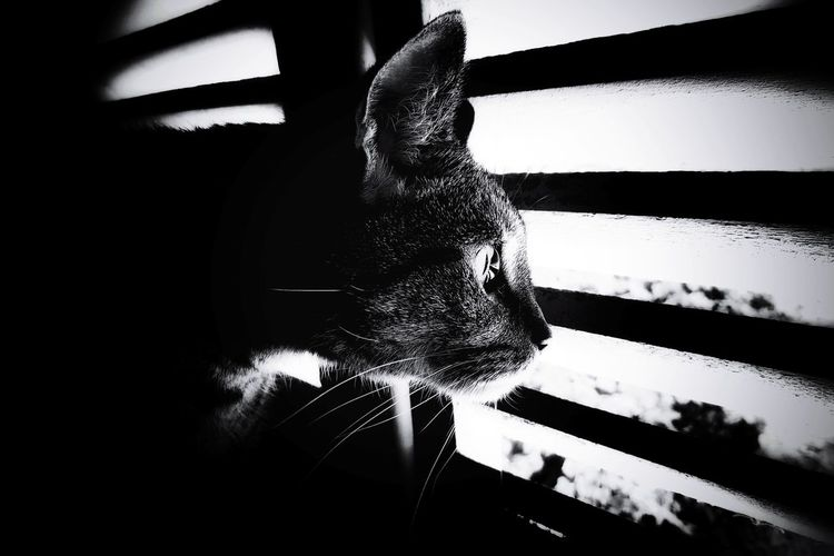 Animal Themes Feline Hunter Bnw Pet Portraits