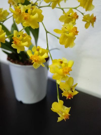 Yellow Flower No People Beauty In Nature Fragility Plant Nature Day Table Beauty In Nature Petal Orchidee Orchidées Orchids Orchidea Orchid Orchideen Plant Orchid Flower Vase Flower Pot Flower Head Springtime Nature Outdoors