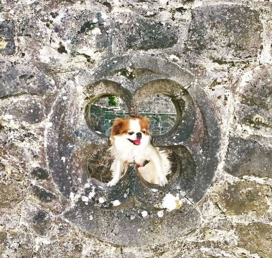 Happy dog! Walking in the old castle grounds!!! Pets Domestic Animals Looking At Camera Sticking Out Tongue Dog Animal Themes Ireland