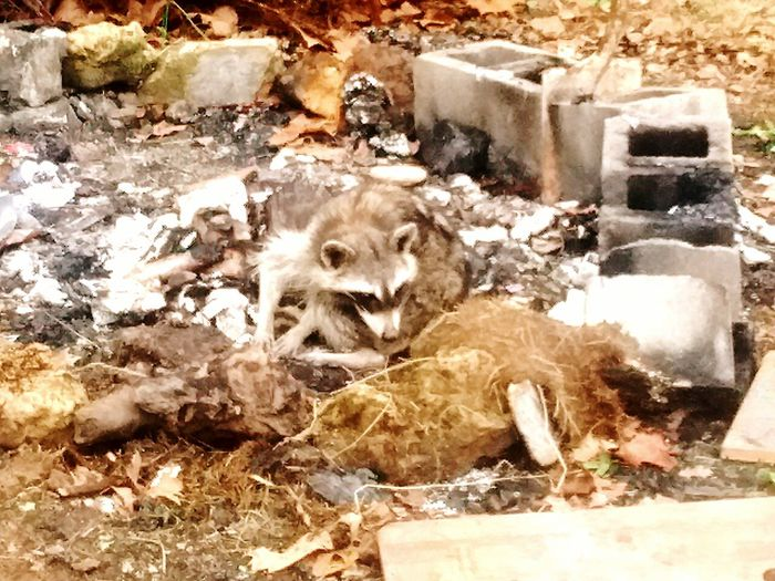 Meanwhile, Back At The Fire Pit... Zoology Raccoon Animal Themes Field Mammal Animal Head  Day Outdoors Zoology Domestic Animals No People Messy Tranquility camping