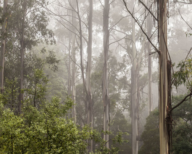 Forest trees surrounded by fog. Australia Beauty In Nature Branch Dandenong Ranges Fog Foggy Foggy Morning Forest Landscape Mountain Nature No People Outdoors Scenics Tree Trees Hidden Gems  Mount Dandenong