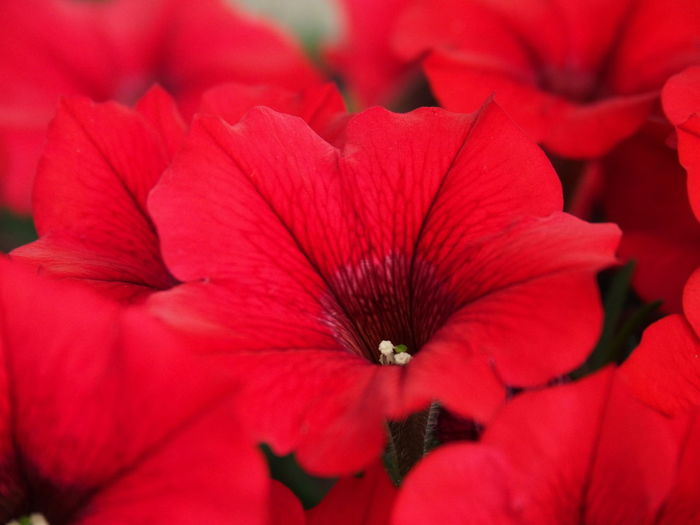 Balcony Beauty In Nature Close-up Day Flower Flower Collection Flower Head Flowering Plant Focus On Foreground Fragility Freshness Garden Growth Inflorescence Macro Nature No People Petal Petunias Petunias Hanging Plant Pollen Red Selective Focus Vulnerability