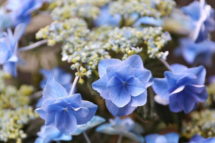 자세히 볼수록 더욱 아름다운 수국 . . #하루한컷 #수국 #5DMARK4 #신계륵 #EF2470F28LIIUSM Flower Head Flower Scented Petal Springtime Blossom Blue Beauty Botany Close-up