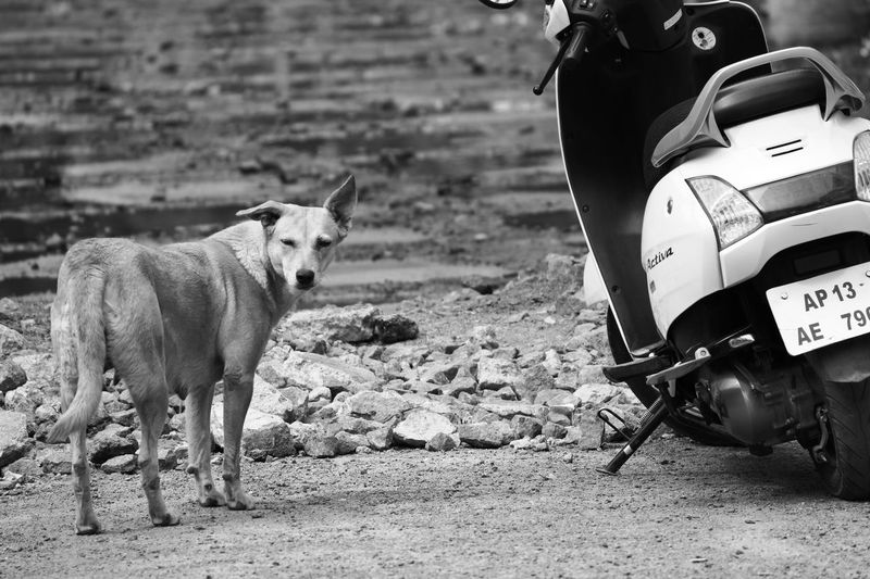 Black & White Black And White Black And White Photography Blackandwhite Blackandwhite Photography Canon Canon 70d Canonphotography Close-up Day Dog Domestic Animals Focus On Foreground India Livestock Mammal Men One Animal One Person Outdoors Pets Real People Standing