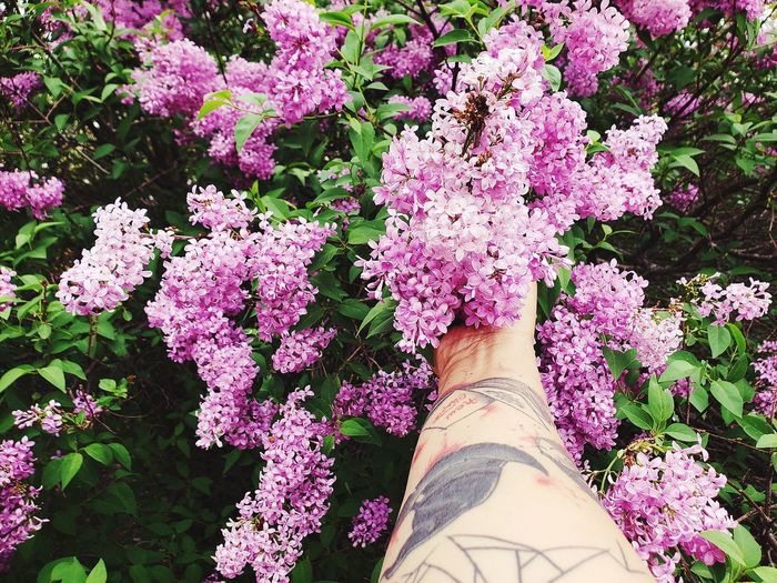 Low section of person on pink flowering plants