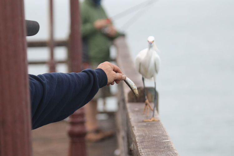 Cropped hand of man feeding heron on railing by sea