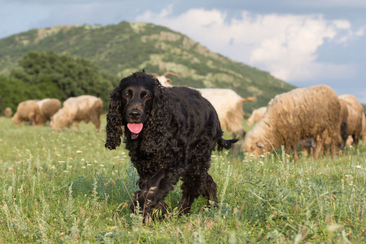 Cocker Spaniel  Farm Green Color Livestock Black Canine Cattle Dog Domestic Animals Field Friend Fur Grass Landscape Mammal Meadow Nature Outdoors Pasture, Paddock, Grassland, Pastureland Pets Puppy Sheep Summer Wilderness Young Animal