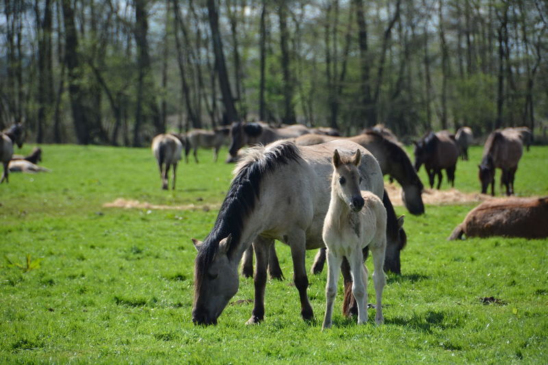 Animal Themes April 2016 Beauty In Nature Dülmen Field Foal Grass Grazing Green Color Growth Herbivorous Horses Landscape Livestock Mammal Merfelder Bruch Nature Nikon D7100 No People Outdoors Pasture Tranquil Scene Tranquility Tree Wild Horses