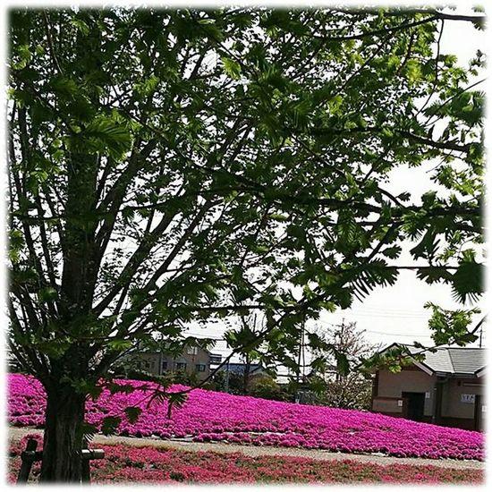 ☀プロフィールのブログもどおぞ😆👍➰ お早うございます🎶😃 Goodmorning🎶(* ´ ▽ ` *)ノ ※ 晴れ☀( 13 ºc)Mostly Sunny ※ 芝桜 Phlox 花弁 Petals 植物 Plants 日本 Japan 自然 Natur 綺麗 Beautiful 癒し Comfort 休息 Rest 安らぎ Peace Happiness Positivity Flowers Flower Plants_Japan_nagoya_mitu