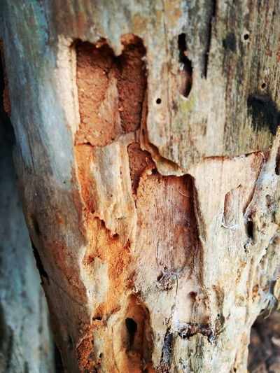 Weathered Rusty Close-up Textured  Rough Full Frame No People Backgrounds Day Indiapictures Woody Woodpile Termite Nature_perfection Nature Lover Naturephotography Natural Beauty Old Tree Indoors  Tree